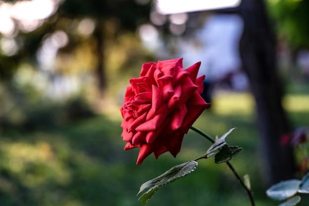 Close-up van een rode tuinroos onder het zonlicht