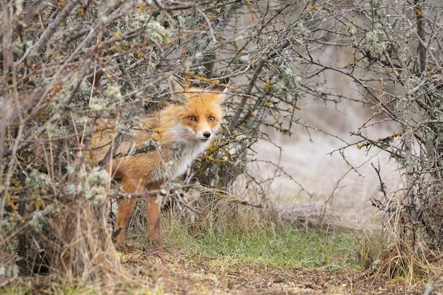 Close-up van een rode vos vulpes vulpes, die uit een struik kijkt.