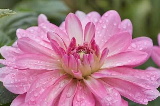 Close-up van een roze bloemblaadje bloem genaamd dalia.