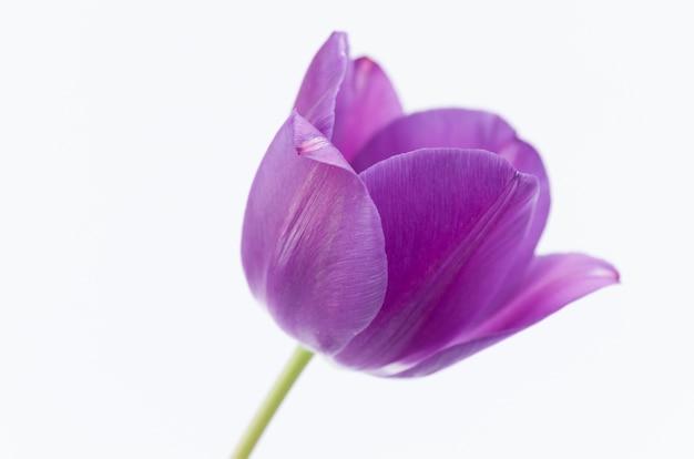 Close-up van een roze tulpenbloem die op witte achtergrond met ruimte voor uw tekst wordt geïsoleerd