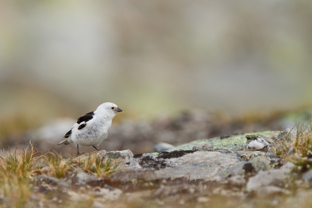 Close-up van een schattige kleine sneeuwgors op de grond in de dovrefjell