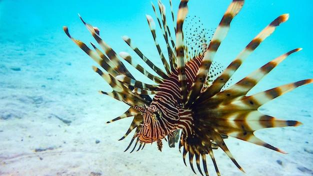 Close-up van een spotfin lionfish (pterois antennata), maldiven.