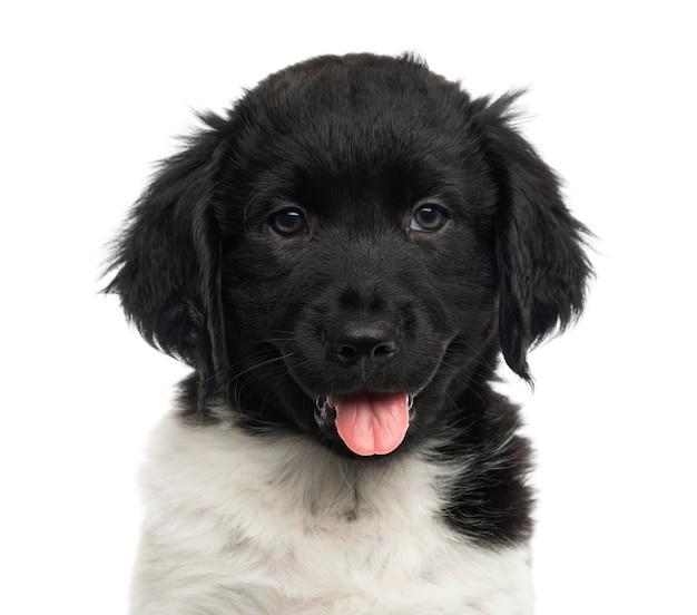 Close-up van een stabij puppy hijgend kijkend naar de camera geïsoleerd op wit