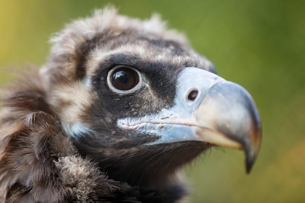 Close-up van een steppe-adelaar