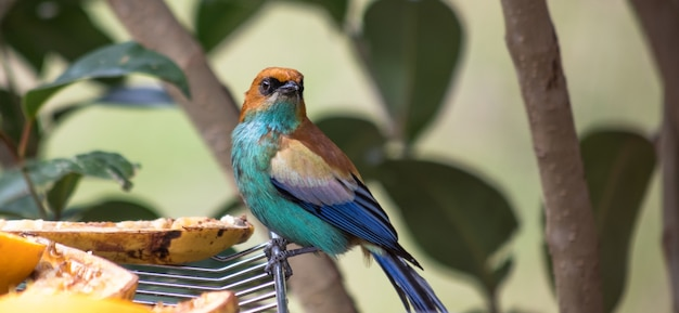 Close-up van een tanagervogel met een kastanjerug die op een koelrek staat