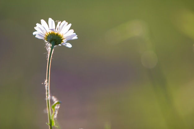 Close-up van een tedere mooie eenvoudige margriet met heldere gele harten verlicht door ochtendzon bloeien op hoge stengels op wazig mistig. schoonheid en harmonie van de natuur concept achtergrond