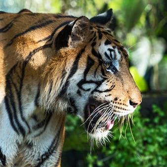 Close-up van een tijgergezicht.