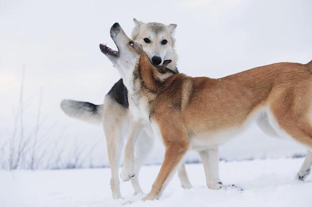 Close-up van een twee grote honden van gemengd ras die vechten om een sneeuwachtergrond