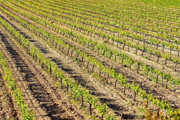 Close-up van een veld met groene wijngaarden in rijen