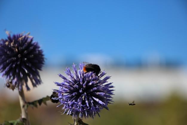 Close-up van een violette bloem eryngium planum met een bij tegen een helderblauwe hemel