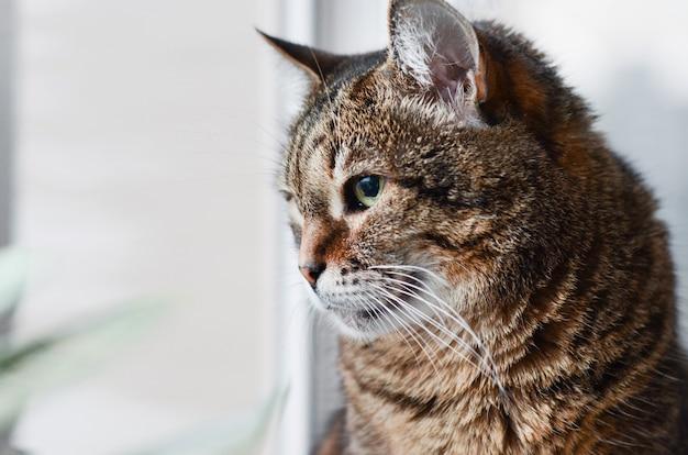 Close-up van een volwassen zwarte en grijze portretzitting van de gestreepte katkat op een vensterbank die uit het venster kijken. plaats onder de tekst.