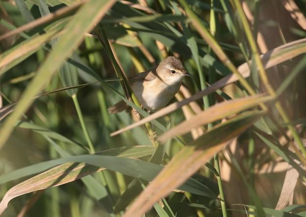 Close-up van een volwassene de paddyfield grasmus (acrocephalus agricola) zit op een riet in zacht ochtendlicht.