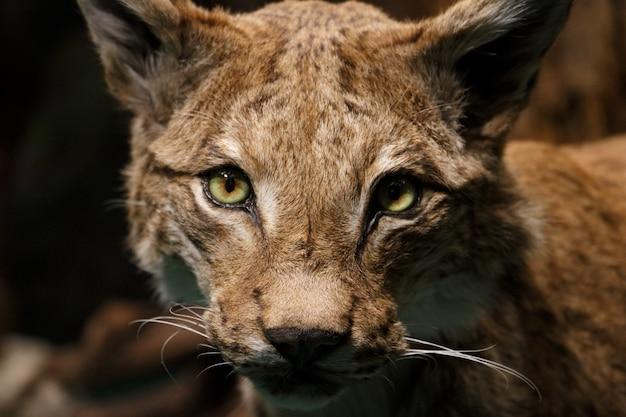 Close-up van een vrouwelijk leeuwgezicht in samburu national reserve
