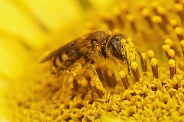 Close-up van een vrouwelijke halictus scabiosae, die stuifmeel verzamelt van een gele bloem