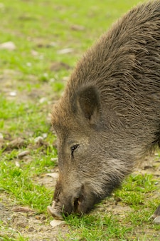 Close-up van een wild zwijn op zoek naar voedsel in de wilde natuur