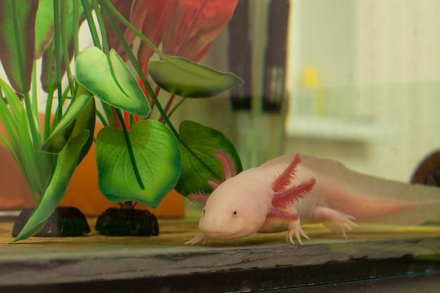 Close up van een witte axolotl in een aquarium