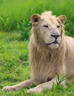 Close up van een witte mannelijke leeuw