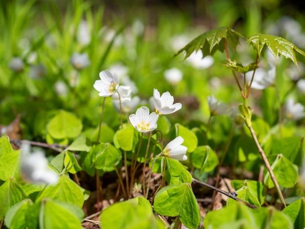 Close-up van een witte oxalis-bloem die in het voorjaar in het park bloeit. groene bladeren, onscherpe achtergrond. selectieve focus