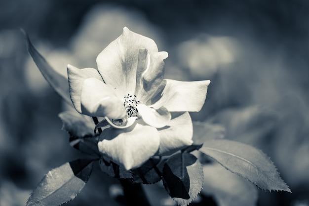 Close-up van een witte roos in koude duotoon