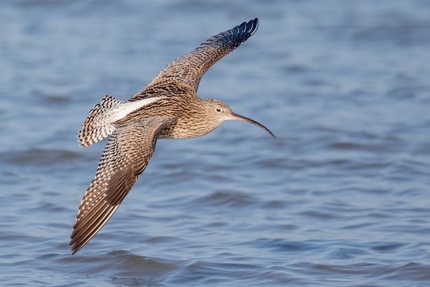 Close-up van een wulpvogel die over de zee stijgt