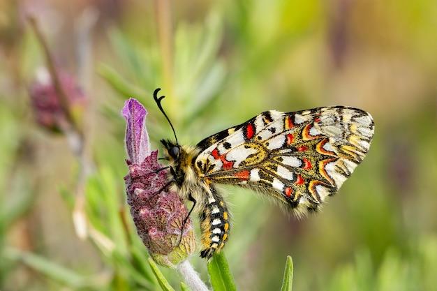 Close-up van een zerynthia rumina-vlinder zittend op een bloem in een tuin die overdag is vastgelegd