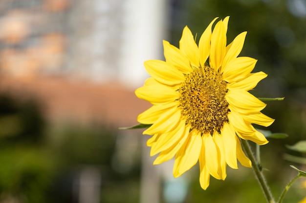 Close-up van een zonnebloem op een zonnige dag