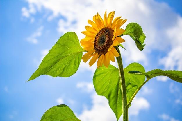 Close-up van een zonnebloem tegen de blauwe lucht