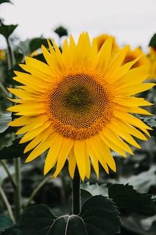 Close-up van een zonnebloembloem