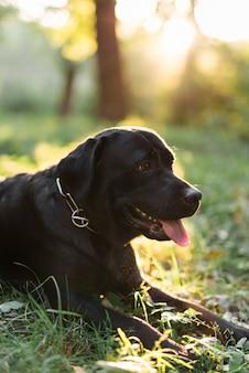 Close-up van een zwart labrador dat uit tong plakt die op gras ligt