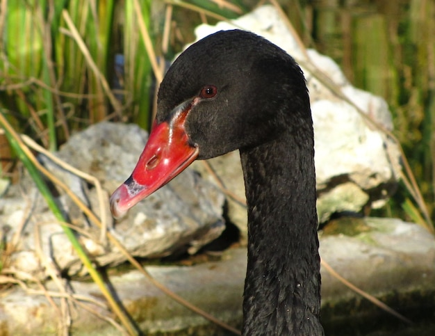 Close-up van een zwarte zwaan met rode snavel en rotsen op de achtergrond