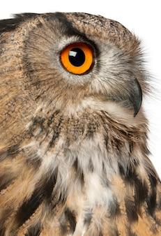 Close up van euraziatische oehoe, bubo bubo, een soort oehoe voor witte achtergrond
