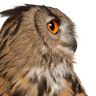 Close-up van euraziatische oehoe bubo bubo een soort van oehoe geïsoleerd