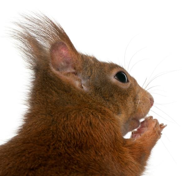 Close-up van europees-aziatische rode eekhoorn, vulgaris sciurus, voor witte achtergrond