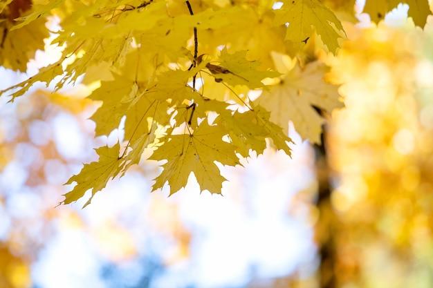 Close-up van felgele en rode esdoornbladeren op herfstboomtakken met levendige onscherpe achtergrond in herfstpark.