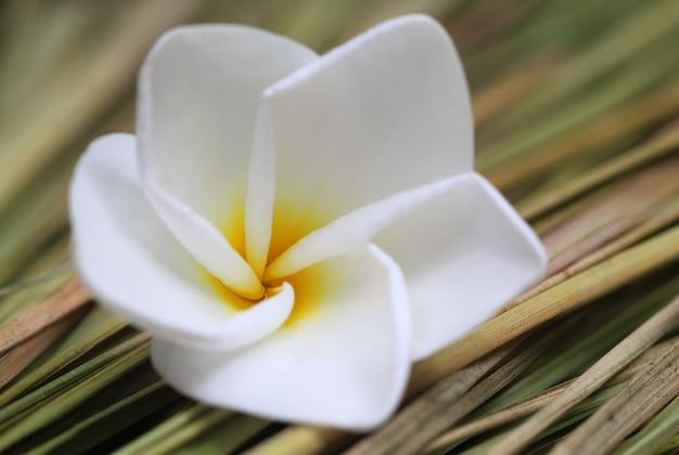 Close up van frangipani op gedroogd gras