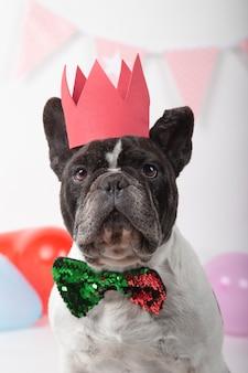 Close-up van franse bulldog met strikje en rode kroon op wit.