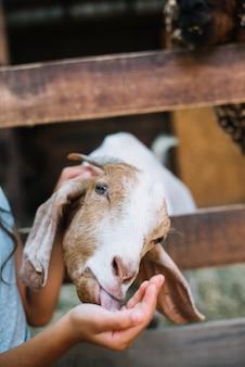 Close-up van geit die van de hand van het meisje eet