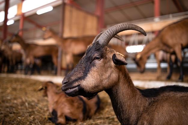Close-up van geit huisdier op boerderij