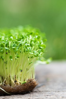 Close-up van gekiemde rucola groeien op natte linnen mat.