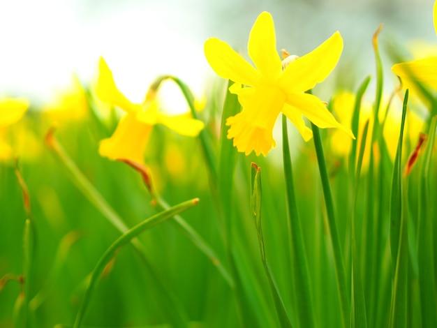 Close-up van gele narcissen in een veld onder het zonlicht