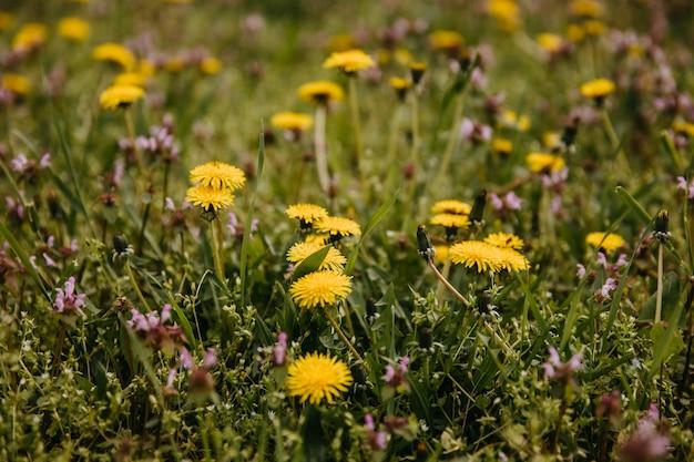 Close up van gele paardebloemen in een veld