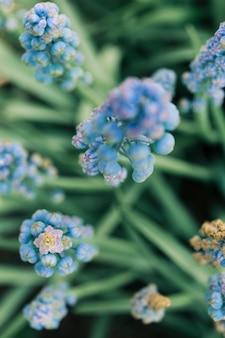 Close-up van gemeenschappelijke de bloemknop van de druivenhyacint in tuin