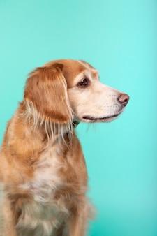 Close-up van gemengde rassenhond die zijdelings op blauw kijkt