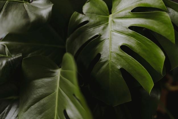 Close-up van gespleten blad philodendron