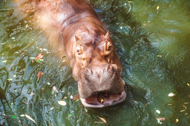 Close-up van gevaarlijk boos nijlpaard