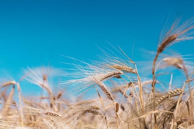 Close-up van gouden tarwe op achtergrond van vage blauwe hemel en gebied.