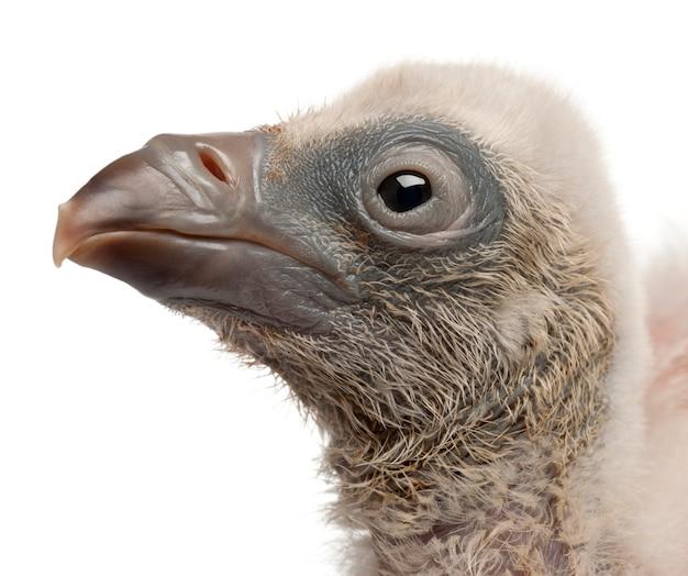 Close-up van griffon vulture gyps-fulvus voor witte achtergrond