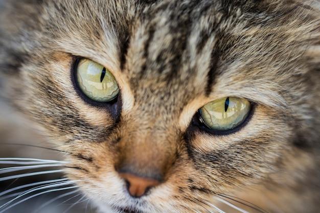 Close-up van grijze kat met geelgroene ogen