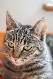 Close-up van grijze kat