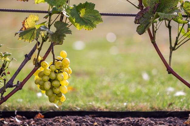 Close-up van groeiende jonge wijnstokken gebonden aan metalen frame met groene bladeren